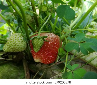Strawberry farm, Strawberry fruit hanging from the tree.