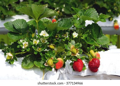 Strawberry farm ih Cameron Highlands, Malaysia.