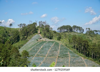 strawberry farm on mountain.