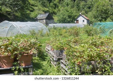 strawberry farm with plants outdoor