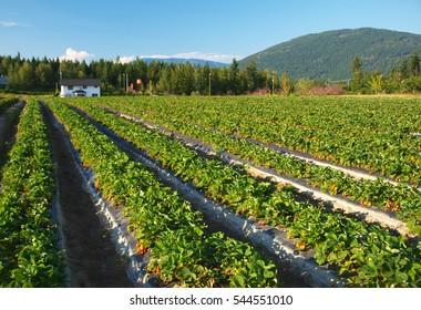 Strawberry farm, Salmon Arm, Canada