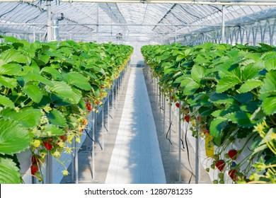 Strawberry farm of vinyl house