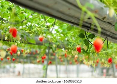 Strawberry farm where many strawberries grew