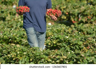 A strawberry farmer carrying a box with freshly picked strawberries from a field.