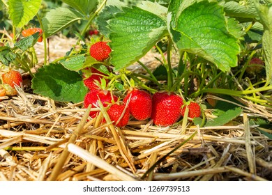 Strawberry field with ripe fruits