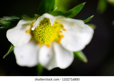 Strawberry flower extreme macro high angle view. Full frame horizontal crop. Selective focus with sallow depth of field