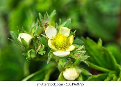 Strawberry in flower - soon berry