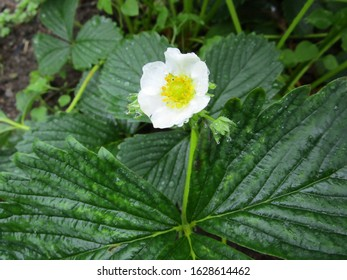 strawberry flower with water drops