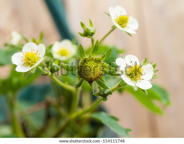 strawberry flowers and buds in close up with garden fencing in soft focus in background