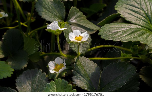 "Strawberry (Fragaria × ananassa) flower and leaves. Compound leaves in which the blade is divided into three separate leaflets, called a ""trifoliate"". The strawberry flower has five white petals."