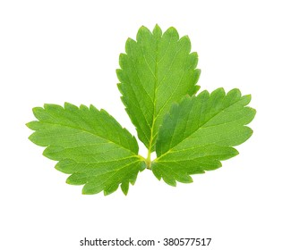 Strawberry fresh leaves  isolated on white background. This has clipping path.