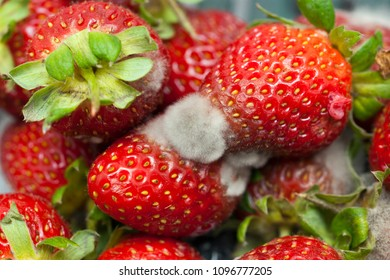 Strawberry fruit going mouldy