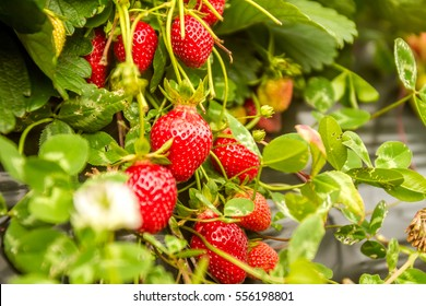 Strawberry fruit grows in the plantation