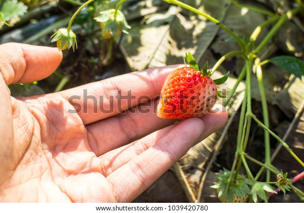 Strawberry fruit in hand, green leaves and flower at strawberry farm on the mountain of north of Thailand