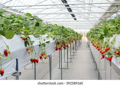 Strawberry fruit in nursery plantation at japan