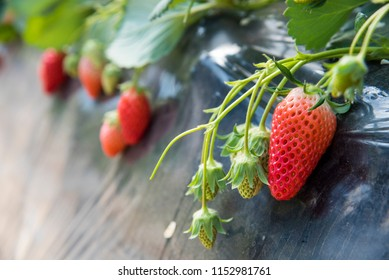 Strawberry fruits on the branch hanging from the tree.