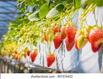 Strawberry fruits on the branch at the morning light. Strawberry farm in japan. Strawberry fruit hanging from the tree.