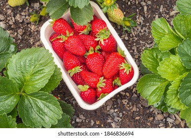 strawberry garden with freshly picked ripe strawberries in cardboard punnet and copy space