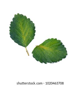 Strawberry green leaf isolate on white as background