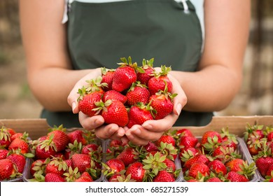 Strawberry growers engineer working in  greenhouse with harvest, woman  with berries