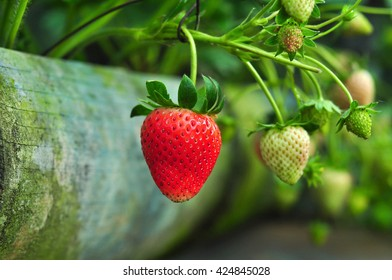 Strawberry  grown on the farm ready for harvesting.