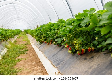 Strawberry grows on strawberry field in plastic greenhouse. Hydroponics Strawberry in greenhouse with high technology farming. Agricultural Greenhous with hydroponic systems, Germany
