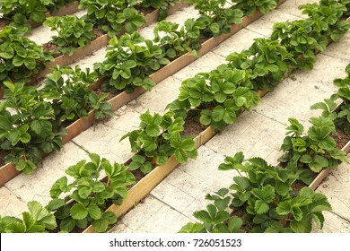 Strawberry grows in the open ground on narrow ridges between the tiles. Organic farming.