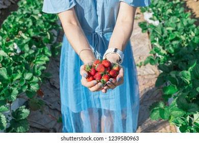 Strawberry in the hand of a fruit farmer.