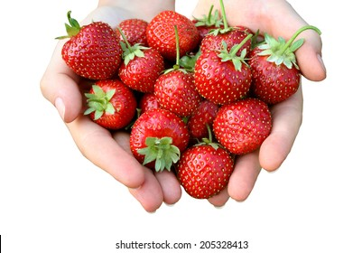 Strawberry in hands isolated on white background. Fresh strawberries handpicked from a strawberry farm.