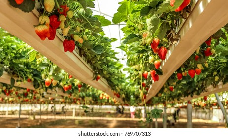 Strawberry hanging farm full of ripe strawberries, view from under the hanging containers