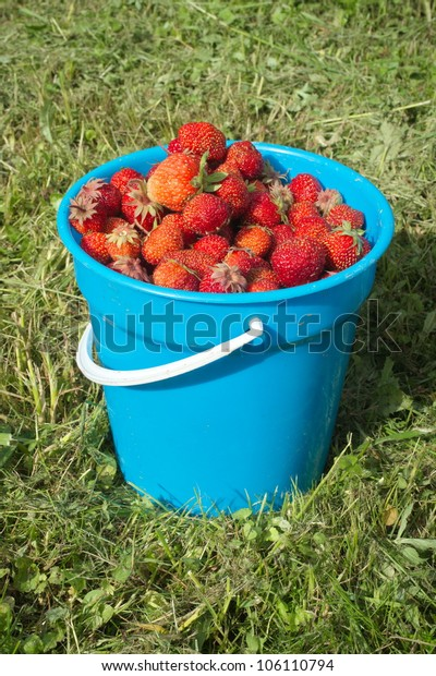 strawberry harvest in a bucket