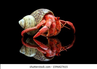 Strawberry hermit crabs with black background,