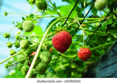 It is strawberry hunting of Japan.