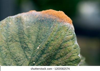 strawberry leaf damaged by spider mite infestation