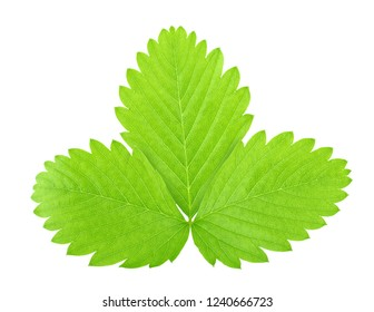 Strawberry leaf isolated on a white background.