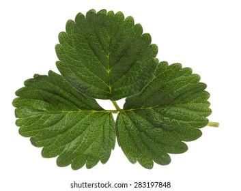 Strawberry leaf isolated on white background.
