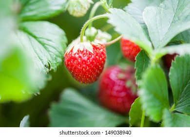 Strawberry in leaves.