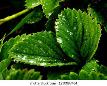 Strawberry leaves. Clear morning Dew drops on the leaves. Summer. Wet leaves. Weather. Leaves after the rain.