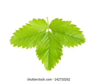 Strawberry leaves on a branch isolated on white background