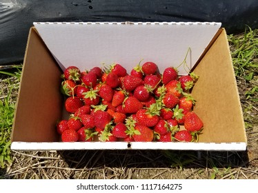 strawberry on the farm