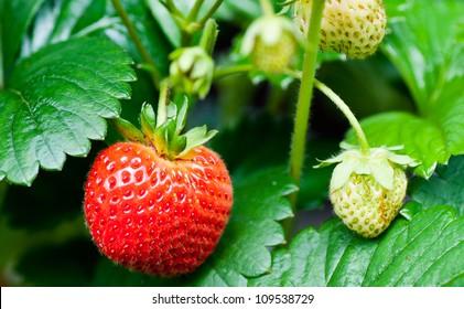 a strawberry on a strawberry field