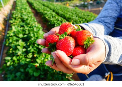 Strawberry on a hand from farm