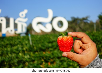 Strawberry on a hand from strawberry farm. At Thai text background it mean species 80 of Thai strawberry in English translation. Not the name of farm.