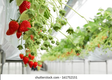 Strawberry in pick up farm  in Japan