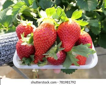 Strawberry picking in japan farm