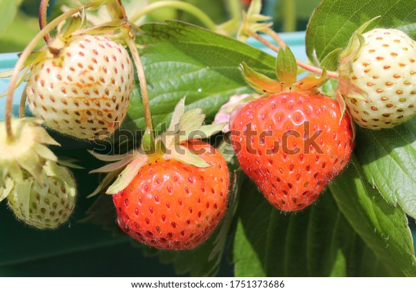 Strawberry plant with both ripe and under ripe fruit
