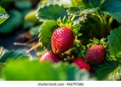Strawberry plant in a farm plantation.