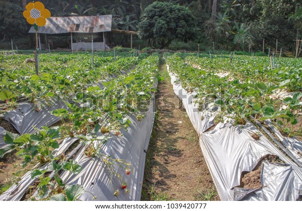 Strawberry plant with strawberry fruit, green leaves and flower at strawberry farm on the mountain of north of Thailand
