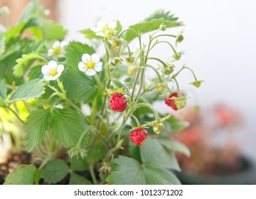 Strawberry plant with fruits and flowers, woodland strawberry,Fragaria vesca