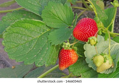 Strawberry plant with green and red fruits